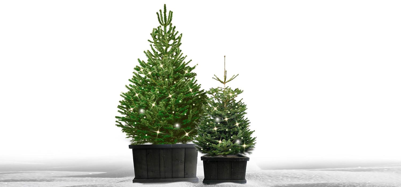 Nordmann kerstboom in kist met verlichting voor buiten bestellen in Roelofarendsveen